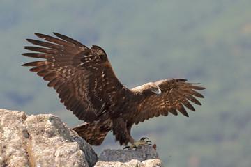 Golden eagle fly
