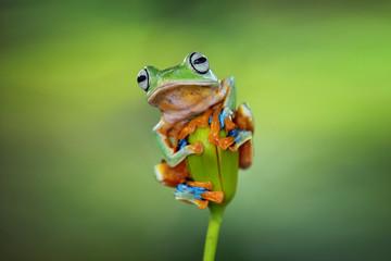 Fototapete - Tree frog, flying frog