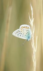 Zartes Makro eines Blaeuling - Schmetterling