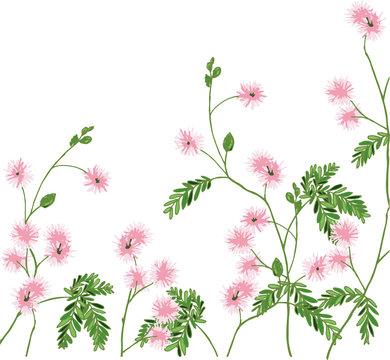 Pink flowering Mimosa pudica