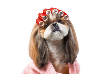 Beautiful shih-tzu dog at the groomer's hands with comb.