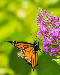 Monarch and other butterflies on pink butterfly plant green background