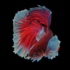 Foto op Plexiglas Vissen betta fish