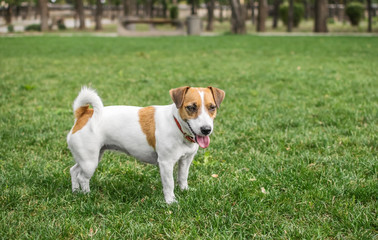 A small dog Jack Russell Terrier in summer park on green grass outdoor