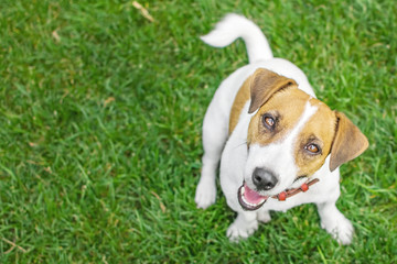 A small dog Jack Russell Terrier sits in summer park on green grass outdoor and looking to camera