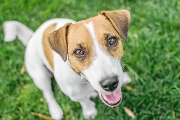 A close-up portrait of a small dog Jack Russell Terrier sitting in summer park on green grass outdoor