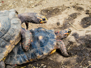 Two turtles mating