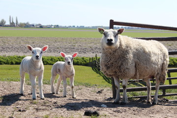 Sheep and lambs on farmland the Netherlands