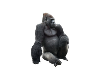 Sitting gorilla isolated on white background