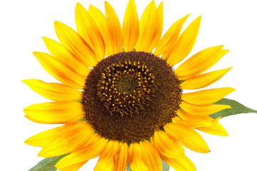 Yellow sunflower flower on a white background