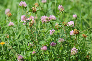 Green meadow with red clover flowers