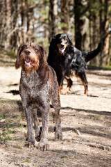 Drathaar and Gordon Setter in a spring sunny forest