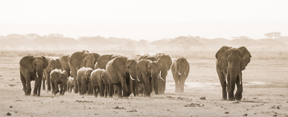 Herd of lephants at Amboseli National Park, formerly Maasai Amboseli Game Reserve, is in Kajiado District, Rift Valley Province in Kenya. The ecosystem that spreads across the Kenya-Tanzania border. Fototapete