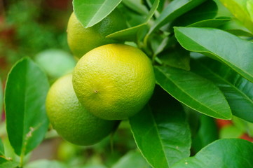 Green lemon fruit growing on a branch