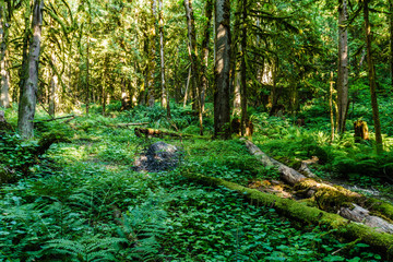 Green old forest in the mountain of British Columbia Canada.