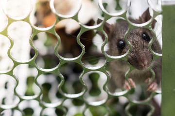 A rat in a cage