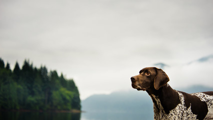 German Shorthair Pointer dog outdoors by ocean and forest with clouds
