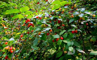 Obraz Zielona gałąź dzikiej wiśni obrośnięta zdrowymi, smacznymi owocami - fototapety do salonu