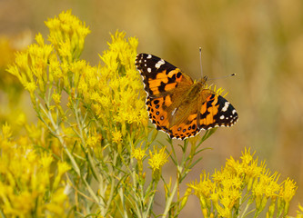 Beautiful Butterfly on Bright Yellow Flowers