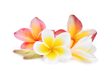 La pose en embrasure Frangipanni pink and white frangipani or plumeria (tropical flowers) isolated on white background