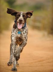 German Shorthaired Pointer dog outdoor portrait running down trail