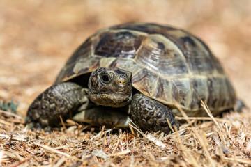 Mediterranean land tortoise