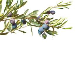 Olive branches  with  olives and  leaves  isolated on white background.