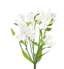 White Alstroemeria flowers  isolated on white background.