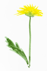yellow dandelion flower painted on white paper