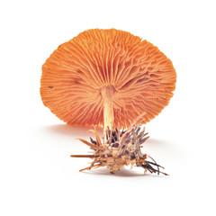 laccaria laccata mushroom