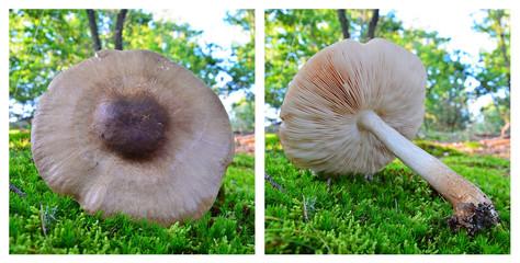 pluteus pellitus mushroom