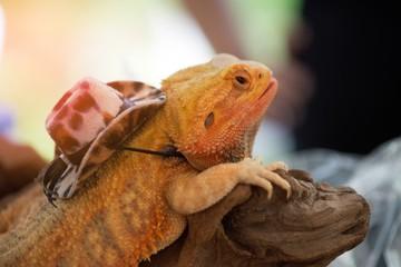 Close-up portrait of a male Lizard iguana (Iguana iguana) with hat.