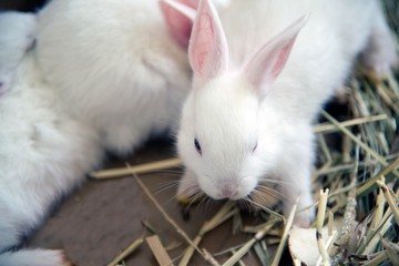 White rabbit. Albino laboratory animal of the domestic rabbit (Oryctolagus cuniculus).