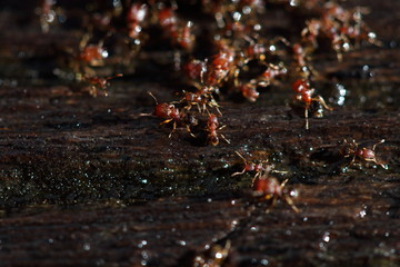 Group of Red Ants helping hands each other to carry food on wooden floor