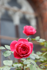 Rose flowers on vintage background Gothic castle