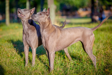 Two Thai Ridgeback dogs