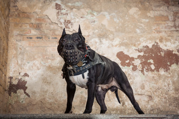 Black pit bull or staphorshire terrier in muzzle staying on the background of a peeled wall Wall mural