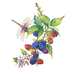 A branch with blackberry fruit, white flowers,  leaves and dragonfly (Rubus genus, black berries). Watercolor hand drawn painting illustration, isolated on white background.