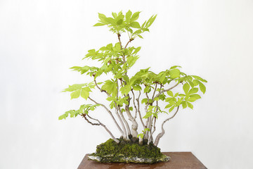 Horse-chestnut (aesculus hippocastanum) bonsai on a wooden table and white background