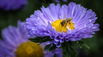 a bee collects honey on a violet flower