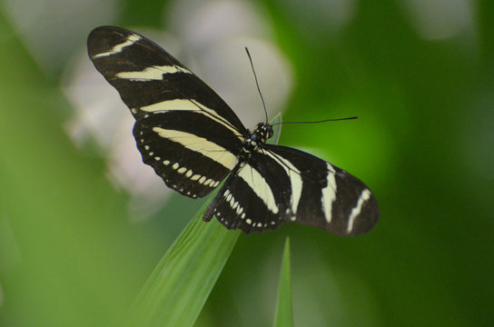 Lovely Wingspan on this Black and White Zebra Butterfly