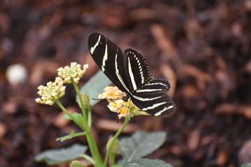 Beautiful Zebra Butterfly on a Bunch of Flowers