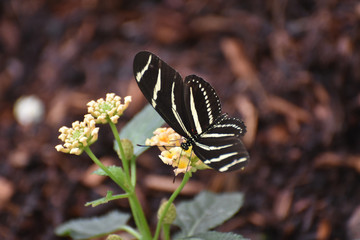 Beautiful Close Up of a Zebra Butterfly on Daisies