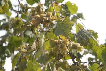 Green Hazelnut.close-up of fresh hazel nuts on tree branch