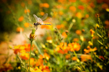 Beautiful nature scene closed-up and Macro Dragonfly in the nature habitat.