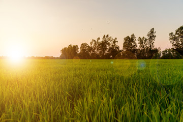 Fotobehang Platteland Landscape of golden light with green rice meadow , relaxing photo , sunsets with lens flare effect