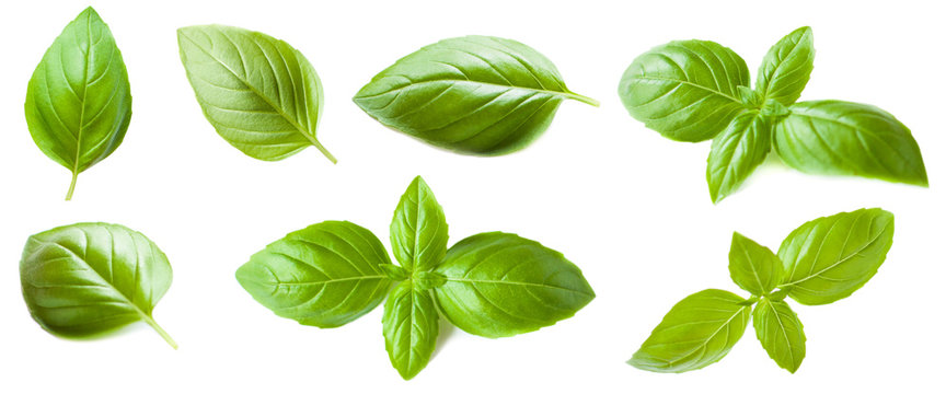 Set of Basil leaf isolated on white background. Macro. Top view.