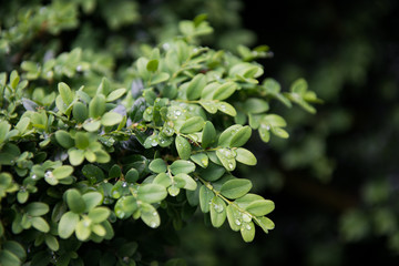Close-up of boxwood branches and leaves, with raindrops.