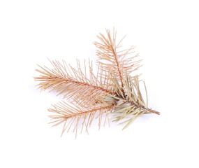dry fir twigs isolated on white background