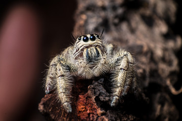 jumping spider Hyllus on a dry bark , extreme close up, Spider in Thailand